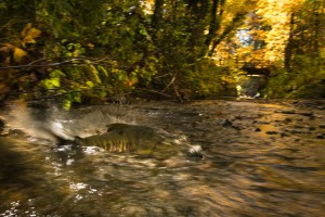 Chum Salmon in Stoney Creek, Burnaby BC. Photographer Fernando Lessa has spent the past 3 years on the Urban Salmon Project, documenting wild salmon in urban areas, all across Metro Vancouver and just published a book.